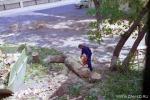 Раскряжевка и вывоз удаленных деревьев