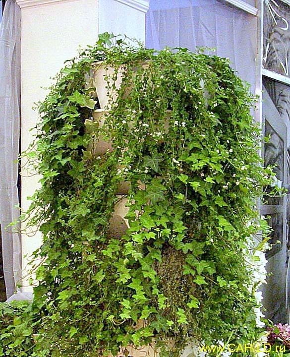 Комнатные вьющиеся растения фото и