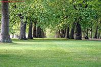 Рис.5 Аллея платанов на газоне в парке
