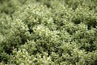 Рис.11 Почвопокровный газон
