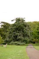 Плакучая форма дерева