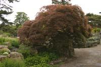 Дерево клен красный