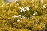 Желтый окрас дерева хвои